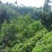 La production : plantation de thé dans la région de Rize au Nord Est de la Turquie bordant la Mer Noire