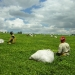 Cueillette du thé vue de terre dans la région de Kericho - Sweta Chakraborty