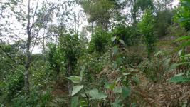 Accompagnement à la structuration de la filière du thé Shan dans le Nord du Vietnam